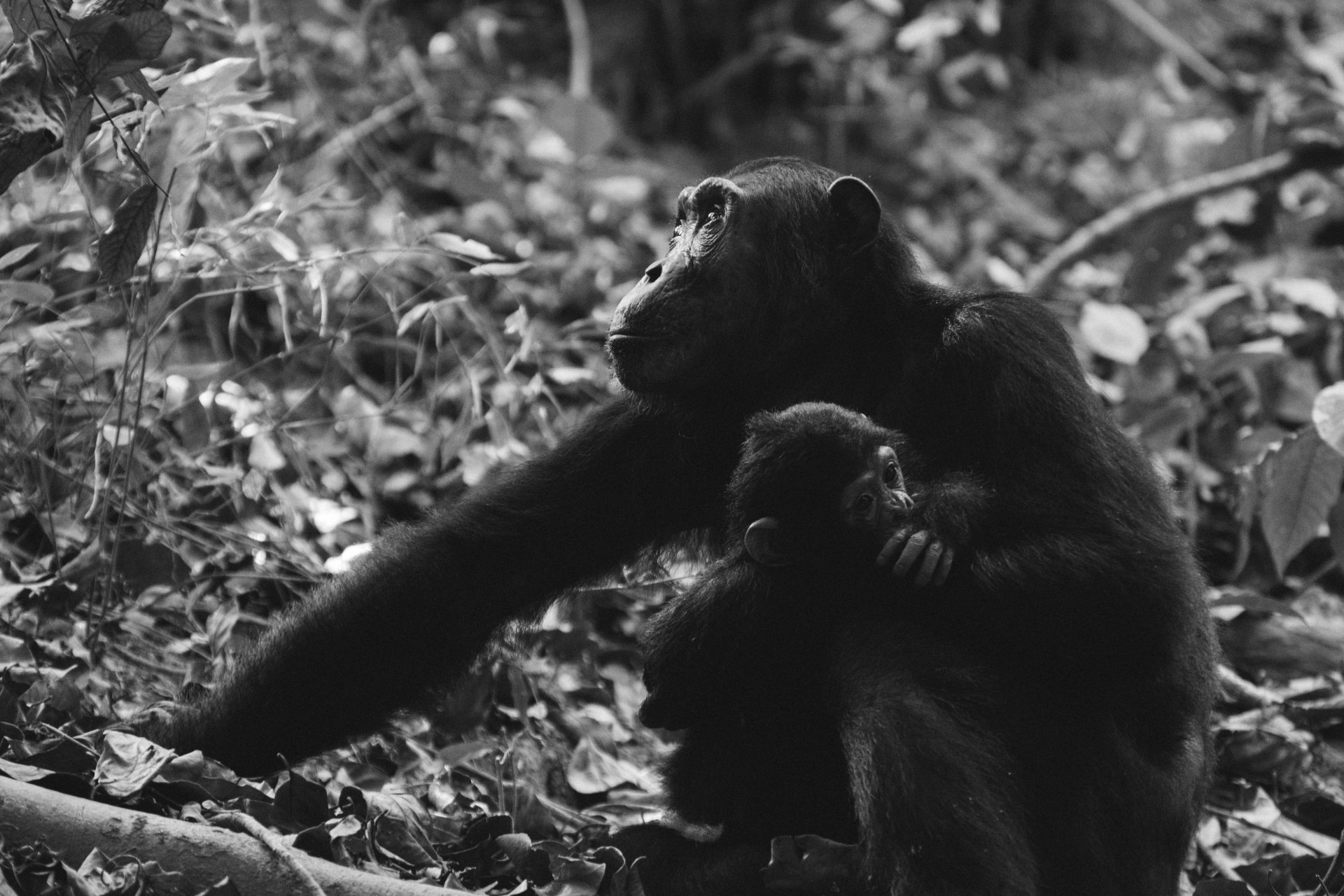 Chimpanzee mother holding it's baby