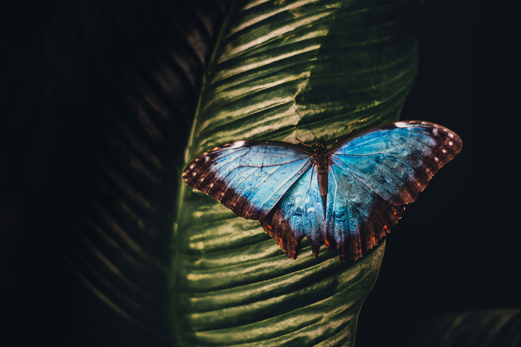A blue butterfly on a leaf