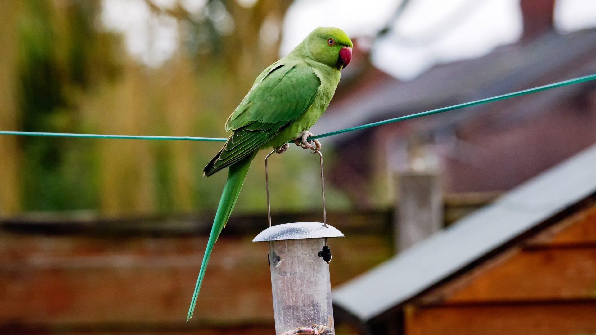 DICE talk: parakeets